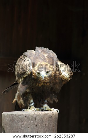 The golden eagle was exterminated in many areas of Europe beginning of 20 Jhd. how many other bird of prey kinds on the basis of hunting and nest looting as much as possible. - stock photo