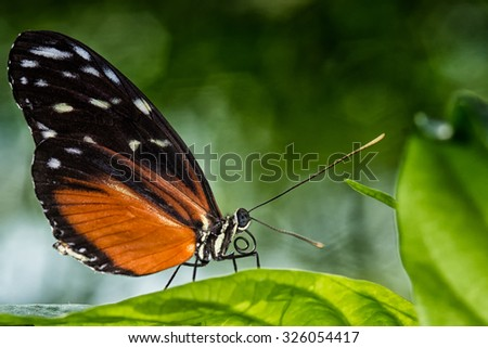 The Golden Long-wing is originally living between Mexico and Peruvian Amazon. - stock photo