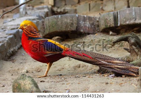 The golden Pheasant in zoo - stock photo
