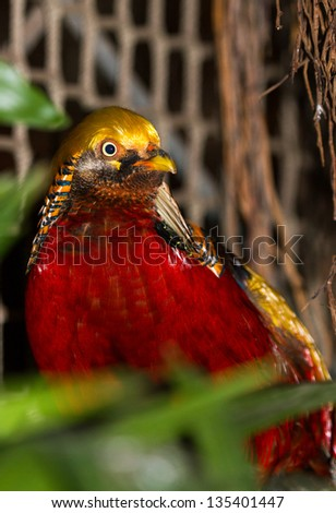 The Golden Pheasant or Chinese Pheasant, (Chrysolophus pictus) - stock photo