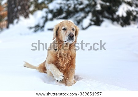 the Golden Retriever lifted his paw - stock photo