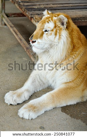 The Golden Tabby Tiger is an extremely rare colour variation of this exquisite wild cat, and not a separate subspecies. soft focus - stock photo