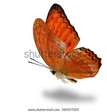 The grace of flying orange butterfly, the Common Yeoman butterfly with fully wings up on white background with soft shadow beneath - stock photo