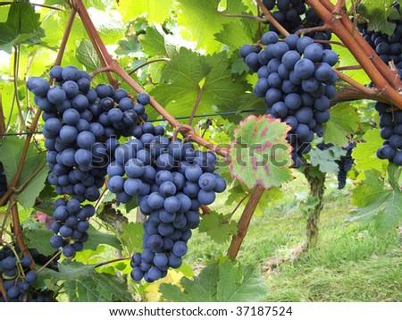The Grape 'Dornfelder' is a strain for winemaking - stock photo