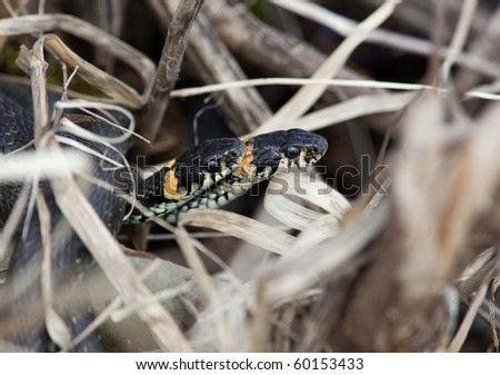 The Grass Snake (Natrix natrix) in the wild nature. - stock photo