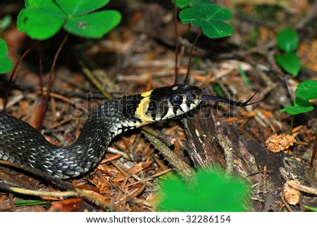 The Grass Snake (Natrix natrix), sometimes called the Ringed Snake or Water Snake is a European non-venomous snake - stock photo