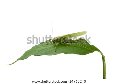 The grasshopper on a green leaf is isolated - stock photo
