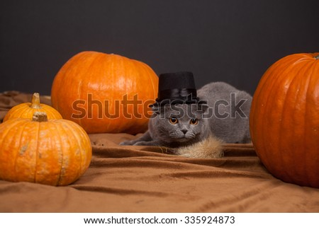the gray British cat in a hat and a lot of pumpkins  - stock photo