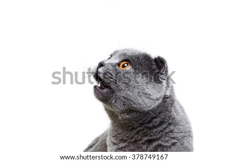 The gray lop-eared cat on a white background looks with an open mouth aside. A cat asking food, isolated. - stock photo