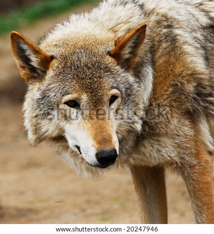 The gray wolf has turned back to be convinced of the safety - stock photo
