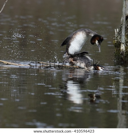 The great crested grebe (Podiceps cristatus) - pair, copulation of birds in the nest. - stock photo