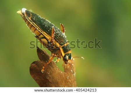 The Great diving Beetle (Dytiscus marginalis) under the water. Great hunting beetle swimming under water in the small pond. Green and brown background. - stock photo