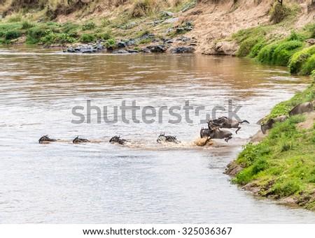 The Great Migration of wildebeests in Maasai Mara Safari of Kenya, Africa. - stock photo