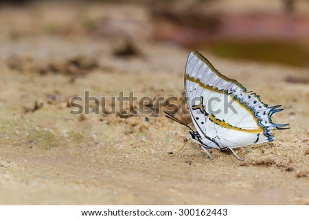 The Great Nawab butterfly is feeding food from sand - stock photo