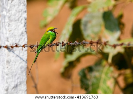 The green bee-eater sometimes little green bee-eater is a near perching bird in the bee-eater family. They are mainly insect eaters and they are found in grassland, thin scrub and forest . - stock photo