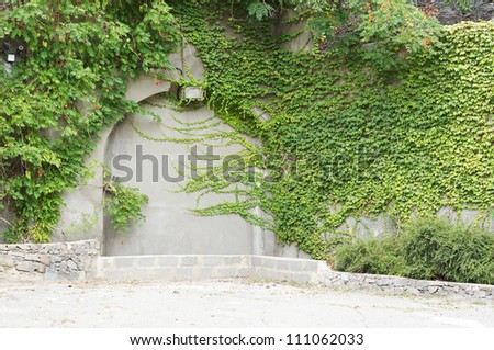 The Green creeper plant on a old wall - stock photo