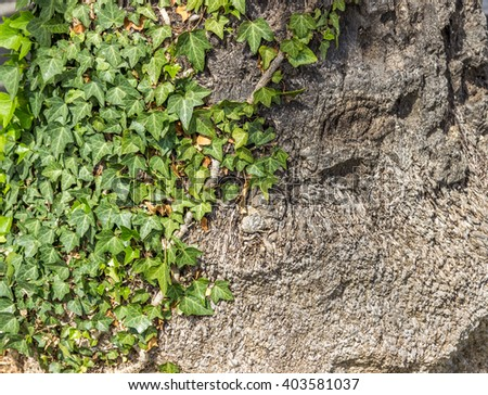 The Green creeper plant on old house wall. Abstract plant background - stock photo