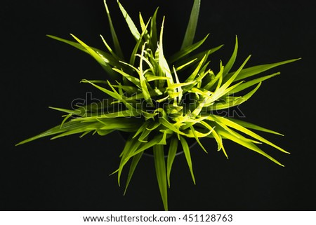 The green grass isolated on black cup Top view. - stock photo