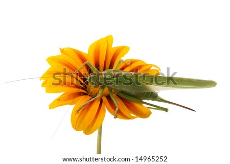 The green grasshopper on a flower,isolated - stock photo