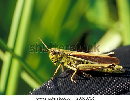 the green grasshopper sits on a belt from a photo bag - stock photo