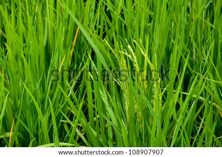 The green of rice. - stock photo