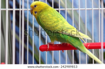 The green parrot in a white cage - stock photo