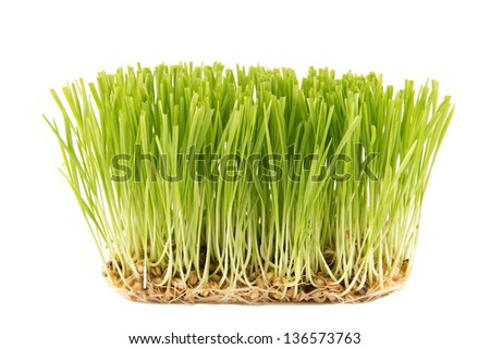 The green wheat plants at the white background - stock photo