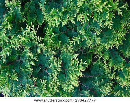 The greens of the coniferous tree in the foreground - stock photo