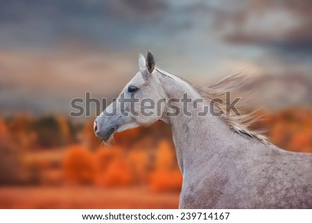 The Grey Arabian Horse portrait on autumn landscape background - stock photo