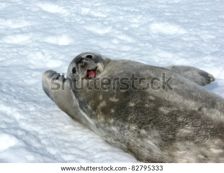 The grey seal Weddell has a rest in Antarctica - stock photo