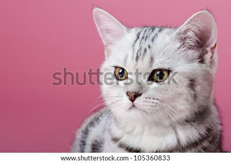 the grey  stripy beautiful little  kitten, sit on dark pink  background , look stare - stock photo