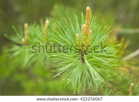 the growing young coniferous branches in the wood in the spring - stock photo