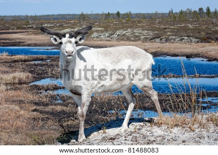 The guarded reindeer standing against tundra - stock photo