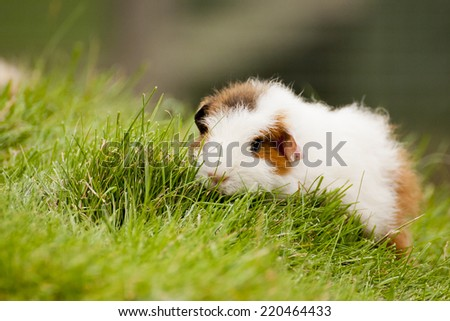 The guinea pig is also known as a cavy, and is a popular pet in Britain. They were used in biological experiments since the 17th century - stock photo