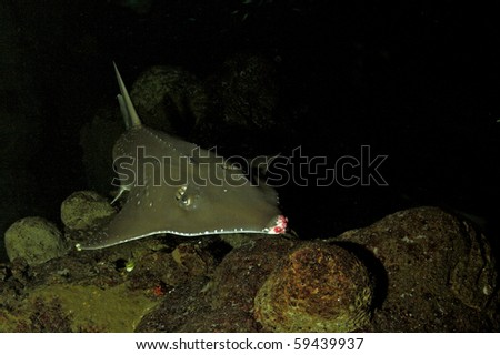 The guitarfish are a family, Rhinobatidae, of rays. They have an elongated body with a flattened head and trunk and small ray like wings. They often travel in large schools. - stock photo