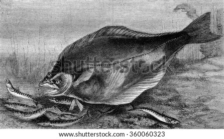 The Halibut, vintage engraved illustration. Magasin Pittoresque 1870. - stock photo