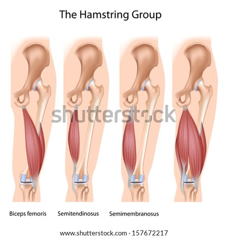The hamstrings - stock photo