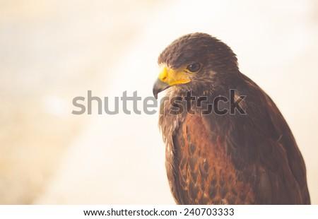 The Harris's Hawk or Harris Hawk - stock photo