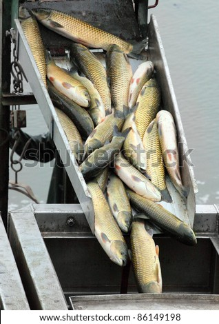 The harvesting of pond, from the fishing pit the fishes (White Amur) are transported to the storage basins. - stock photo
