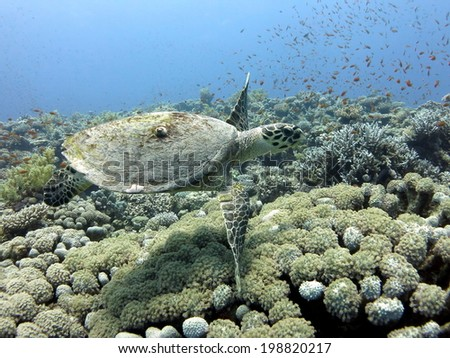 The hawksbill sea turtle swimming close to the reef. Red sea, Egypt, Dahab - stock photo