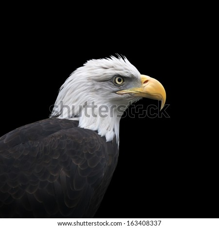 The head and shoulder of a bald eagle, haliaeetus leucocephalus, isolated on black background. Side face portrait of American eagle, US national character, very beautiful bird with proud expression. - stock photo