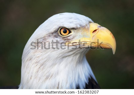 The head of a bald eagle, haliaeetus leucocephalus on green background. The American eagle, US national character, very beautiful bird with proud expression. - stock photo