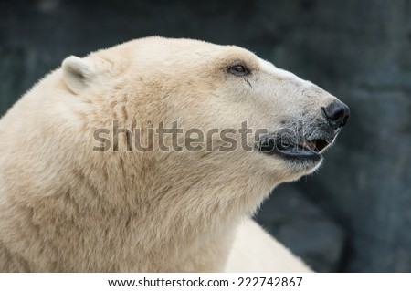 The head of a thoughtful polar bear looking to the side showing profile. - stock photo