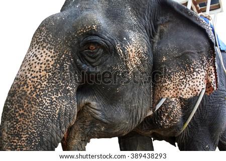 The head of asian elephant close-up. Isolated - stock photo