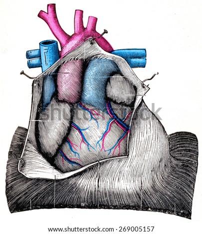The Heart, vintage engraved illustration.  - stock photo