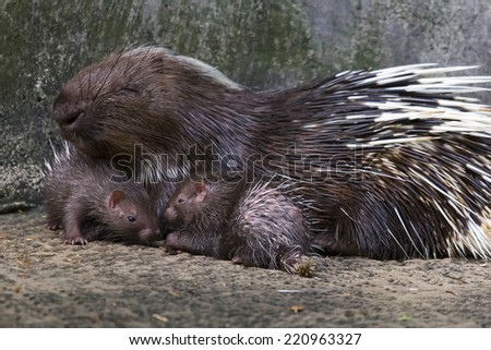 The hedgehog emerging - stock photo