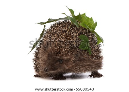 The hedgehog with green leafs in motion hastens to home - stock photo