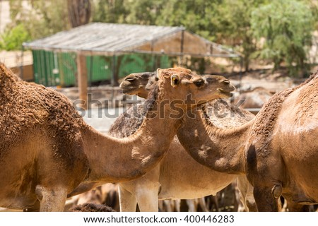The herd of Camels on the farm - stock photo