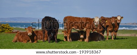 The Herd of happy grazing Cows or Bulls standing outside at the green pasture, against the ocean and staring into the camera.Typical Organic farm for natural beef or milk produce - stock photo