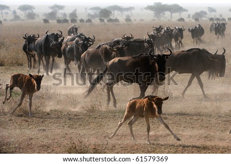 The herd of migrating wildebeest antelopes goes on dusty savanna. - stock photo
